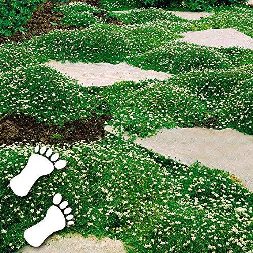 Selten Rot Bodendecker Polsterthymian duftend Trittfest Teppiche Sand Thymian Blumensamen ...